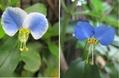 メガネツユクサとモミジアオイが咲いたよ!