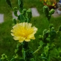 《サンチュ》花が咲いた!