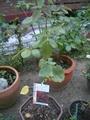 バラの苗が増えました