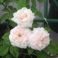 今日元気なバラ…「粉粧楼」‼️