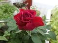 夏でも薔薇