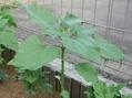 ペチュニアを植えました
