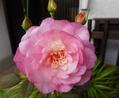 オレガノの花♡