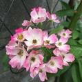 今日のマイガーデンのお花