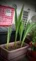 泡の肥料awappiで育てるベランダの植物