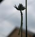 サギソウ、咲いた