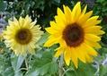 ミニひまわり開花
