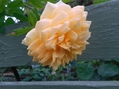 今日のバラ(^^♪②