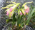 カトレア開花[i:146]