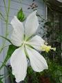 白花モミジアオイ咲きました♪