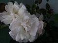 なんとなく咲いてるよ バラとクレマチス
