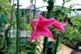 今日の庭から(いろいろなお花たち)