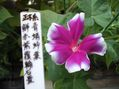 変化咲き朝顔の開花