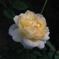 今日のバラ…「ザ ポエッツ ワイフ」ER‼️