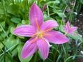 ピンクの夏の花