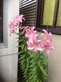 ピンクの百合様はらはらと~~~~~さようなら〜〜
