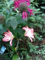ジャーン!!アマリリスが咲きました!
