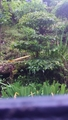 ヤシャブシの盆栽風