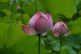 花開くピンクのハス カマキリを添えて