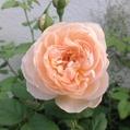 今日のバラ…「ザ シェパーデス」‼️