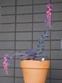 エケベリアの開花
