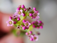 ツクバネの開花