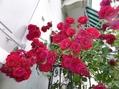 レマン湖畔のバラ