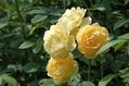 梅雨明けのバラ