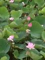 蓮の花が満開