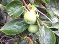 黄緑色の柿の実を発見