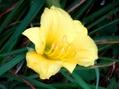 今朝の庭より・・・黄色の花