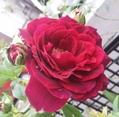 可愛い❤花弁