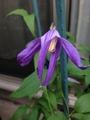 クレマチスの二番花