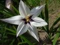 アシダンセラ開花!メキシコひまわりも🌻