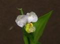 ツユクサ(うすいムラサキ色)の変わり咲き。