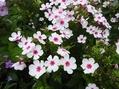 さりげない疑問…花弁の数が増えています。
