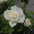 今日元気なバラ…「アイスバーグ」‼️