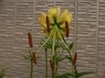 黄金鹿ノ子百合咲きました。