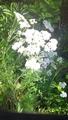 ノコギリ草