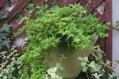 葉物の寄せ植え