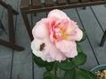 香りのバラ