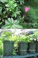 ミニヒマワリ[i:1]開花