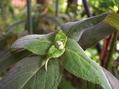 13&14番目の開花…ムクゲ2種