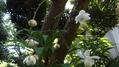 レンゲショウマが咲きました