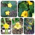庭の黄色の花の野菜たち*