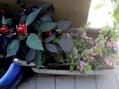 出番待ちの植物