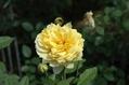 今日のバラ ②
