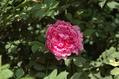 今日のバラ ⑤