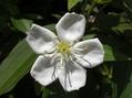 白花ノボタン