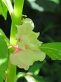 鳳仙花、新たに3色